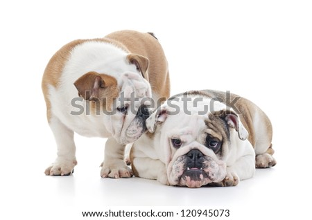 two english bulldog dogs over white background, it looks like one is whispering to the other