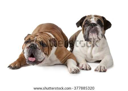 Two English Bulldog lying on white background and looking to something