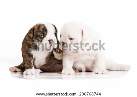 Two english bulldog puppies - stock photo
