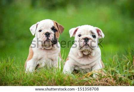 Two english bulldog puppies sitting on the grass - stock photo