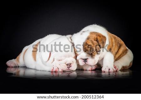 Two english bulldog puppies sleeping - stock photo