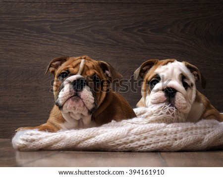Two English bulldog puppy. Portrait. Muzzle dog close. Puppies are 3 months. White knitted blanket. Background wood - stock photo