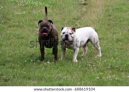 two english bulldogs are standing in the garden
