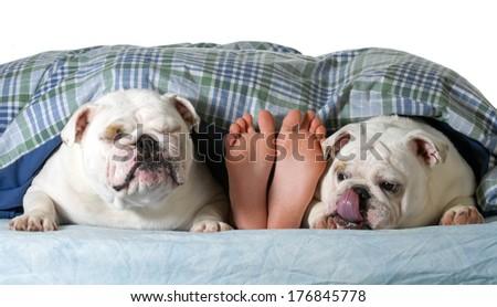 two english bulldogs in bed with owner  - stock photo
