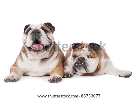 two English bulldogs in front of a white background