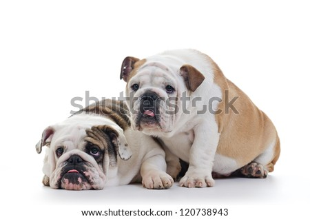 two english bulldogs over white background, horizontal shot