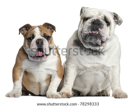 Two English Bulldogs sitting in front of white background
