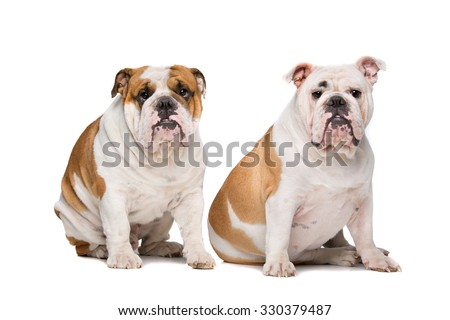 two English Bulldogs sitting on front of a white background