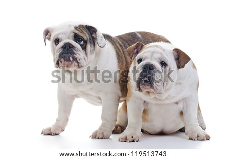 two english bulldogs watching something, over white
