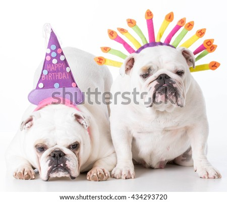 two english bulldogs wearing birthday hats on white background