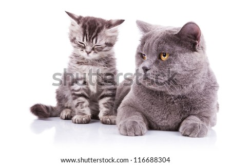 two english cats mother lying and cub sitting with eyes closed. isolated on white - stock photo