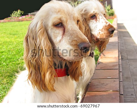 Two English Cocker Spaniel puppies playing at the garden - stock photo