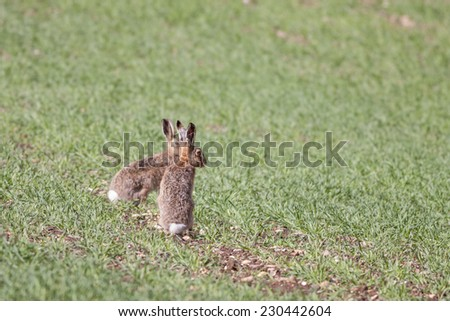 Two European or Brown Hares (Lepus europaeus) in a field watching for predators - stock photo