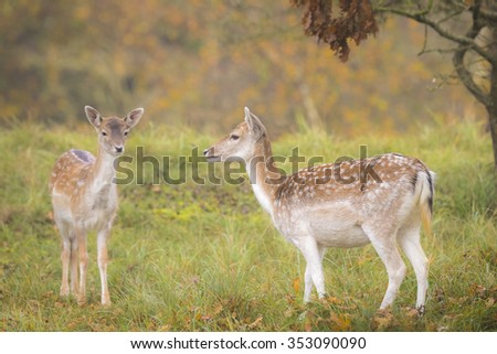 Two Fallow deer (Dama Dama) fawn in Autumn season. The Autumn fog and nature colors are clearly visible on the background. - stock photo