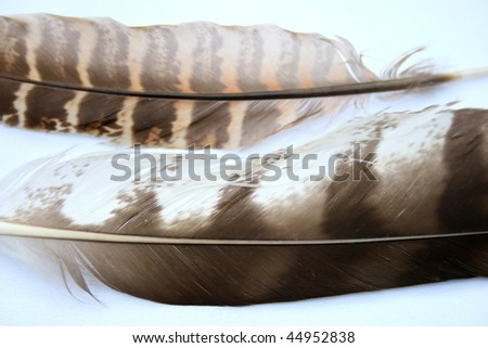 Two feathers from different species of birds of prey.