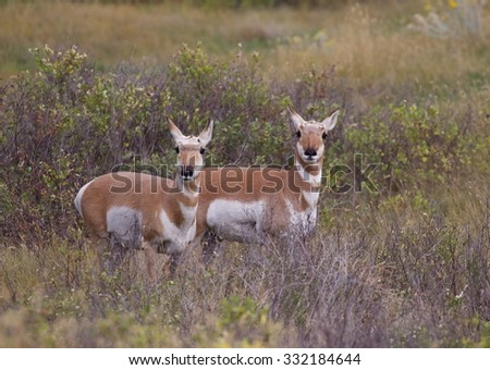 Two female (doe) Pronghorn Antelope stand alert in lush prairie habitat,  Antilocapra americana, the fastest mammal in North America - stock photo