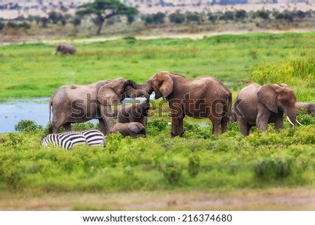 Two female elephants greet each other and also the elephant calf stretches up his trunk in the swamp of Amboseli National Park, Kenya - stock photo