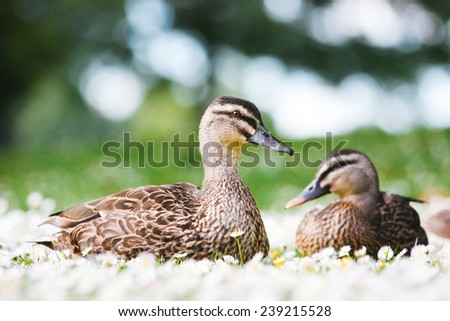 two female Mallard Ducks sitting and resting on bed of Daisy Flowers - stock photo