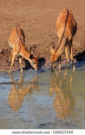 Two female Nyala antelopes (Tragelaphus angasii) drinking water, Mkuze game reserve, South Africa - stock photo