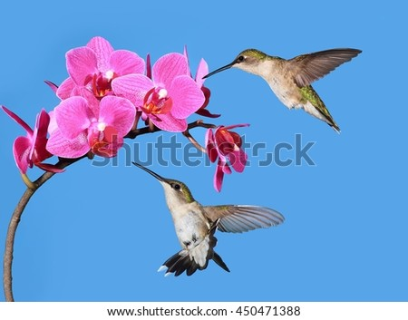 Two female Ruby- throated hummingbirds (Archilochus colubris) at pink orchids with blue sky in the background. - stock photo