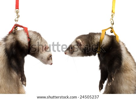 two ferret kit in white background