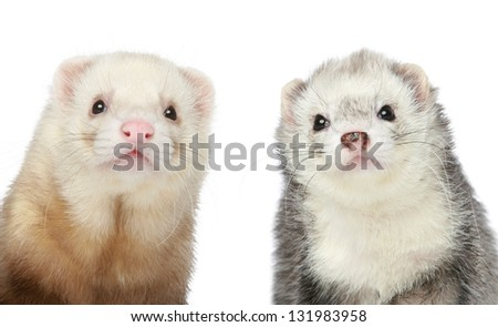 Two Ferrets. Close-up portrait on a white background - stock photo
