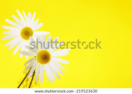 Two fields chamomiles on vivid yellow background - stock photo