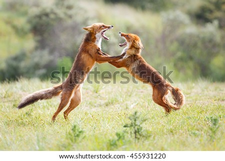 two fighting foxes