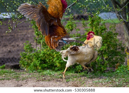 two fighting roosters, red rooster in attack
