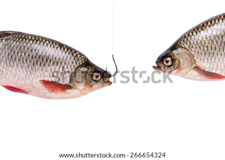 Two fishes, fish on a hook, isolated on white background with clipping path included
