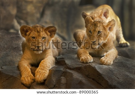 Two five month old Lion Cubs sitting on the rock.