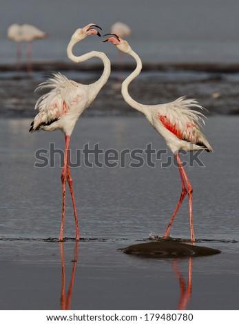 two flamingo's  - stock photo