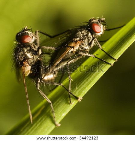 Two flies (musca domestica) mating on green grass, macro, shallow dof