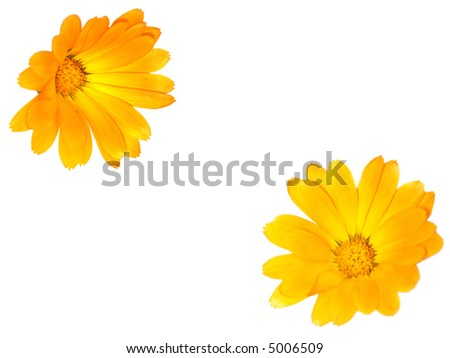 two flowers of calendula close-up isolated on white background