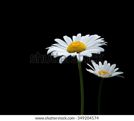 Two flowers of camomile isolated on black background - stock photo