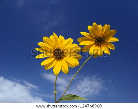 two flowers of Jerusalem artichoke under a blue sky with white clouds
