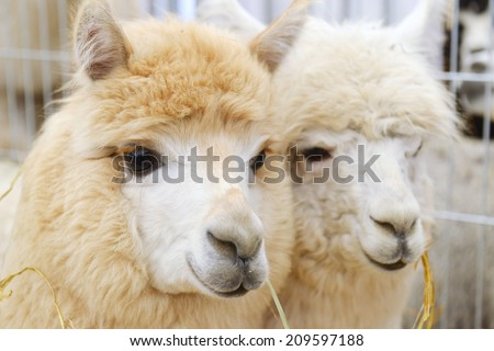 two fluffy alpacas at zoo - stock photo