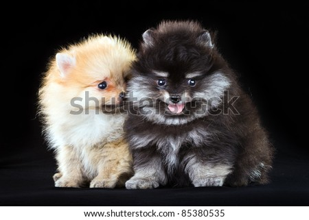 Two fluffy Pomeranian puppies on a black background