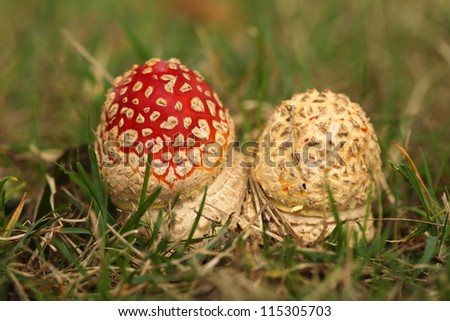 Two fly agaric mushrooms in the grass