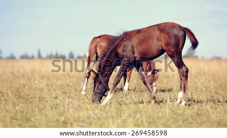 Two foals are grazed in the summer in the field. - stock photo