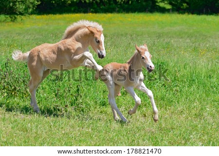 Two foals, Haflinger horses, playing and romp about across a pasture in spring - stock photo