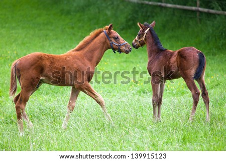 two foals in the paddock
