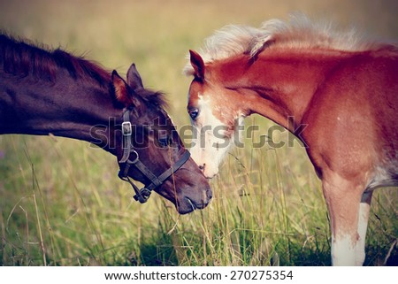 Two foals on a meadow. The horses is grazed. Horses on a pasture.  - stock photo