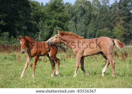 Two foals playing with each other - stock photo
