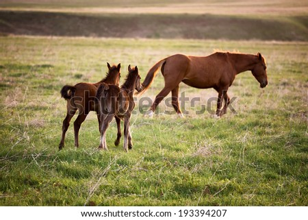 Two foals running for a mare at sunset