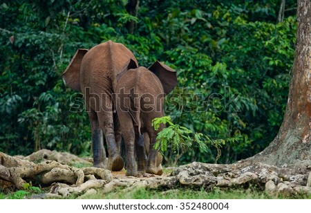 Two forest elephant go into the jungle. Central African Republic. Republic of Congo. Dzanga-Sangha Special Reserve. An excellent illustration.
