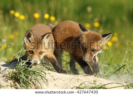 two fox brothers playing in front of the den ( Vulpes vulpes )