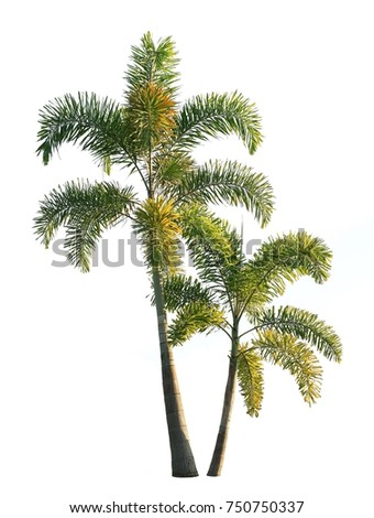 Two foxtail palm trees isolated on white background