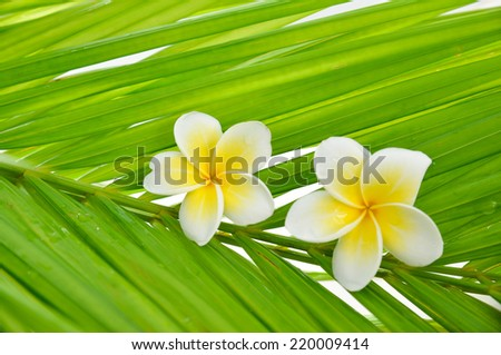 Two frangipani and wet palm leaf texture - stock photo