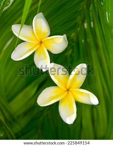 Two frangipani on wet palm leaf background - stock photo